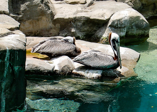 Pelicans, Smithsonian National Zoological Park, Washington, DC