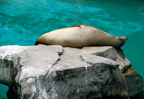 Lazy Seal, Smithsonian National Zoological Park, Washington, DC