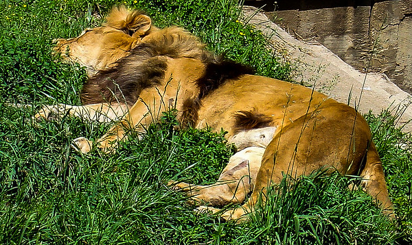 Lazy Lion, Smithsonian National Zoological Park, Washington, DC
