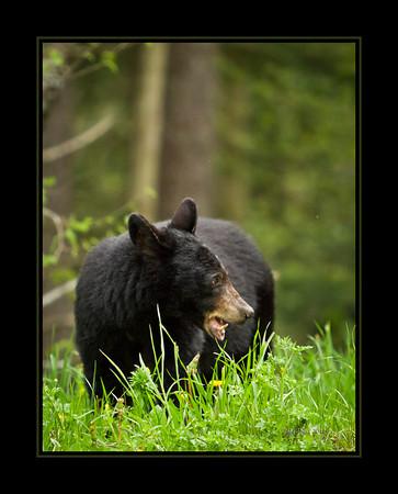 Black Bear at Clingmans Dome.