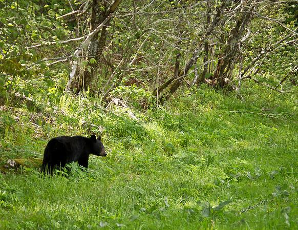 Bear along Roaring Fork Road