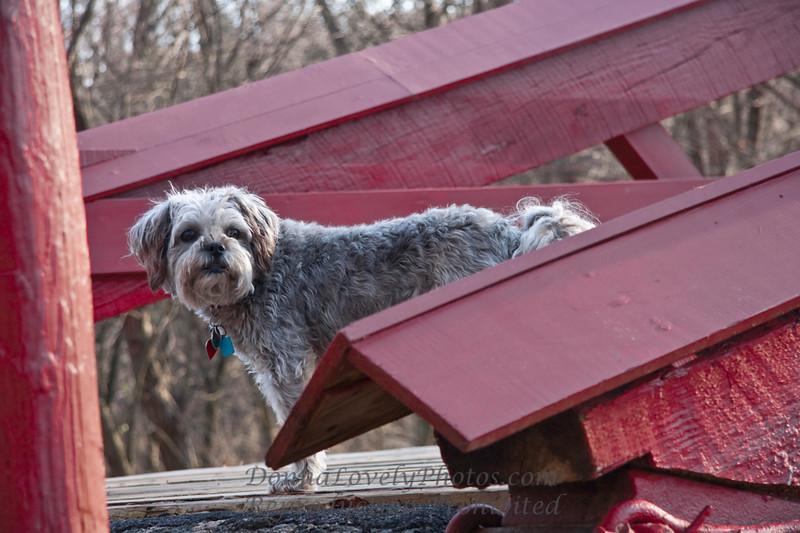 Smokey Lovely the Dog on Red Pedestrian Bridge, Washington Crossing Park, Bucks County, PA