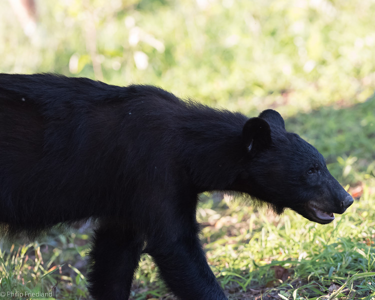 Black Bear in Cades Cove after his Cherry meal