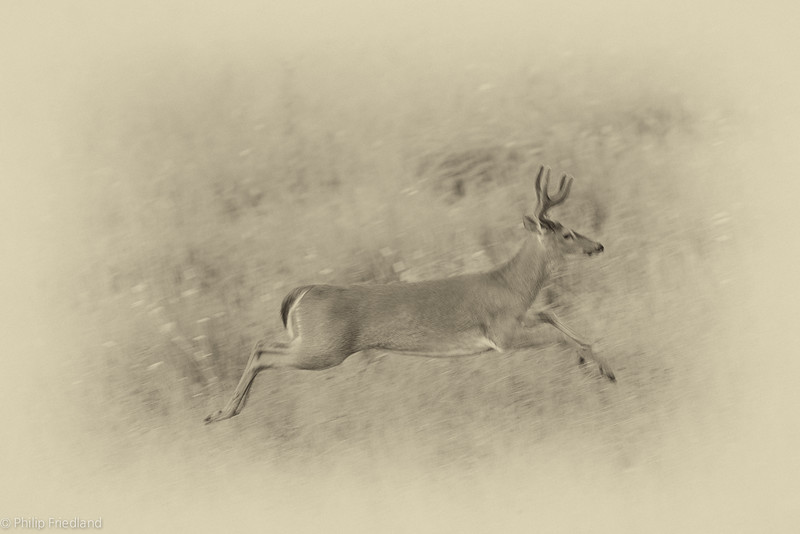 Buck Running-Cades Cove