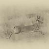 Buck Running-Cades Cove