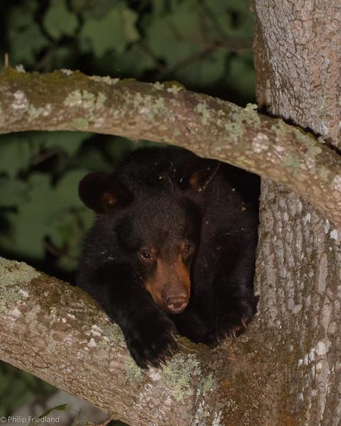 Baby Bear @ Cabin August 2015