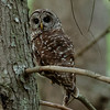 Barred Owl Cades Cove