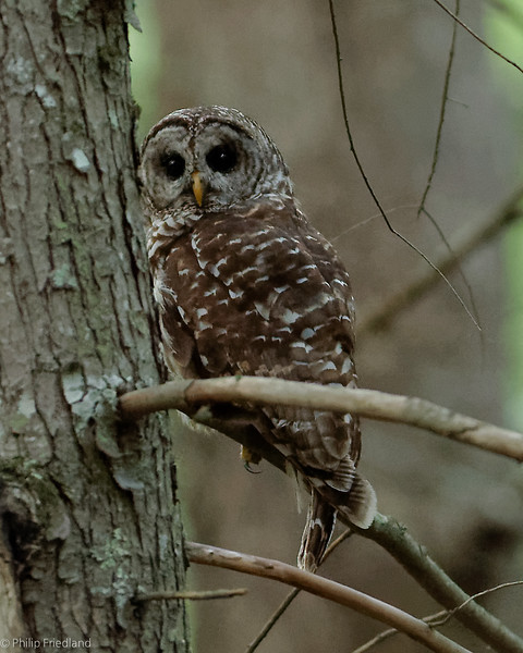 Barred Owl Cades Cove