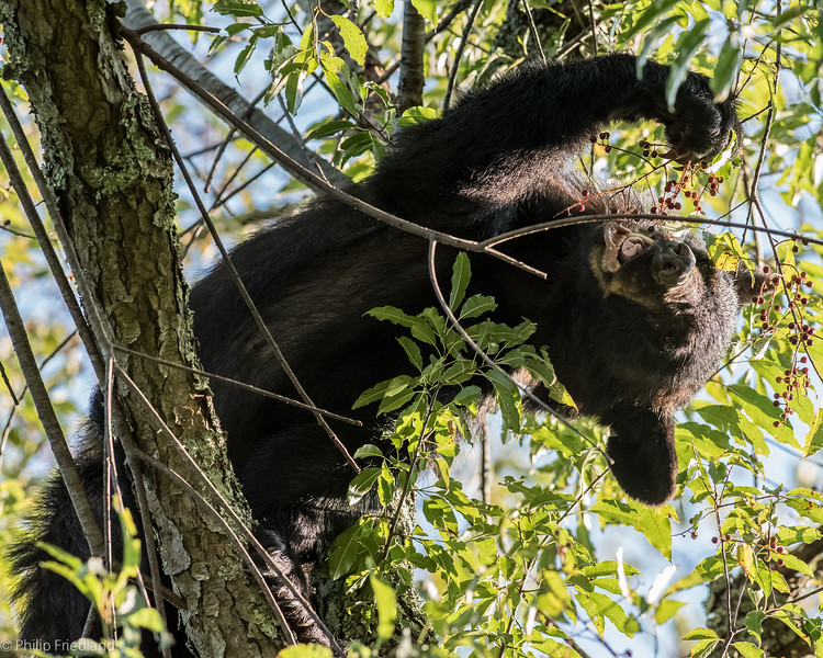 Black Bear Eating Cherries in Tree-Cades Cove