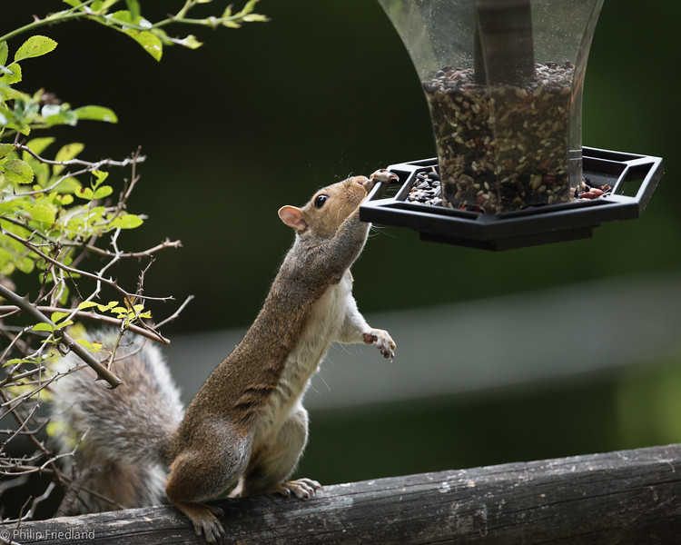 Squirrel getting Birdseed