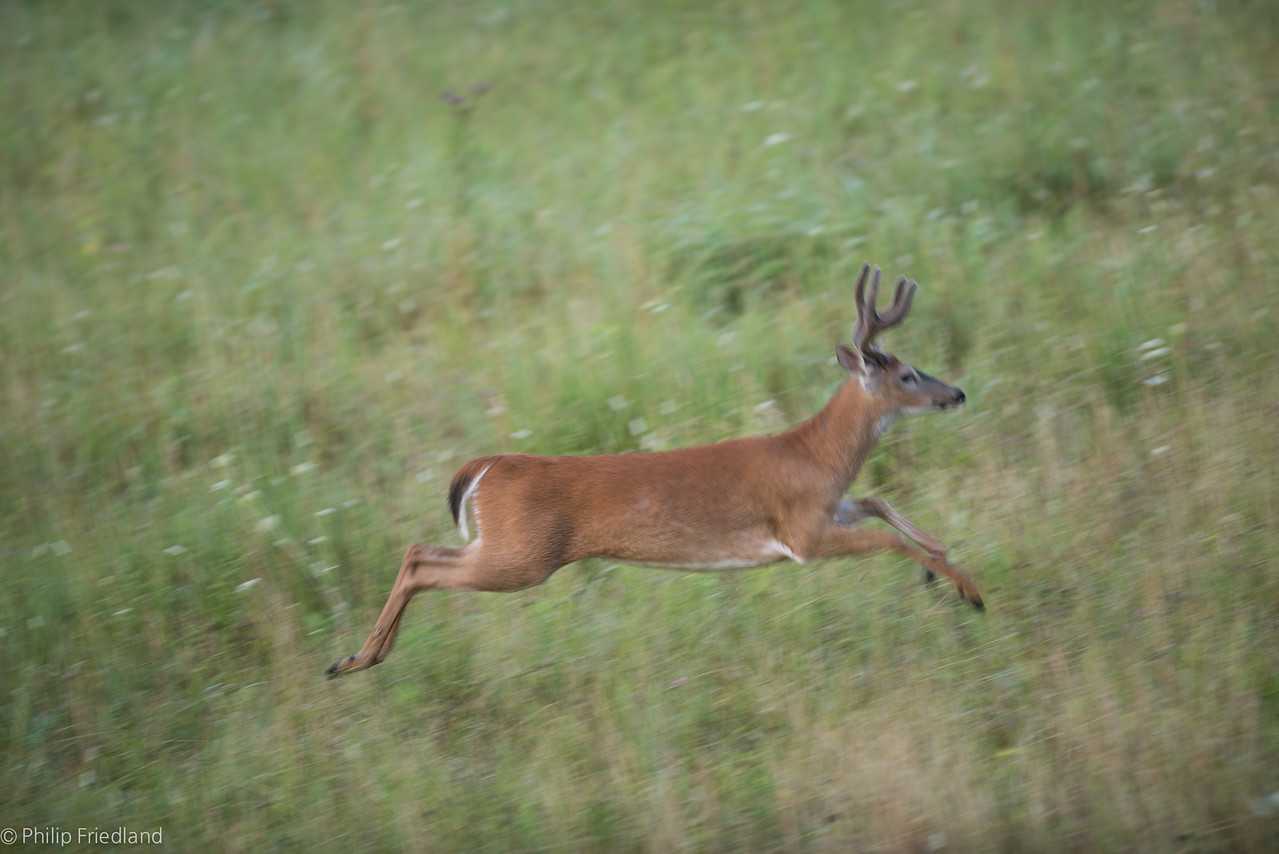 Buck Jumping-Cades Cove