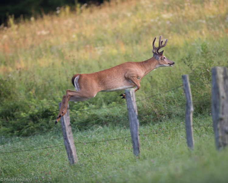 Buck Jumping the Fence@ Cades Cove