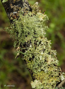 4-24-17.  The next images are from a branch I found on the ground in Cades Cove.  It had the most amazing lichens, in all stages!  All  of a sudden lichens were fascinating.  Blow them up and look at the detail!