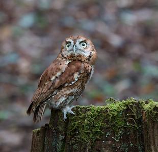 4-22-17.  Red Screech Owl.