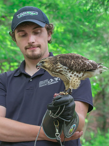 4-22-17.  Chris, one of the Tremont Staff who also volunteers with Upstate Raptor, holding a Red Tail Hawk.  It is eating a mouse in his hand.