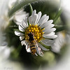 113020.  Flower fly on an aster.  ID for later.