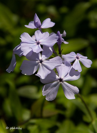 Wild Phlox was also blooming all over.
