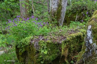Phacelia blooming on top of a rock.