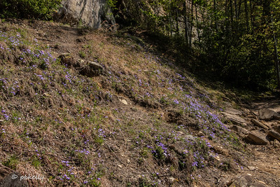 Hillside with Birdsfoot Violets.  Another one new to me.