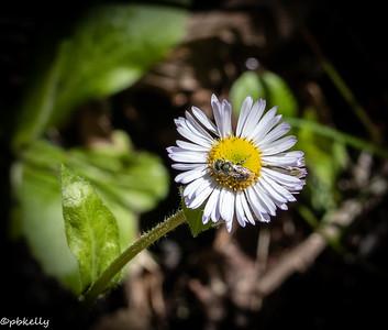 Fleabane with bee.  Flowers need bugs.
