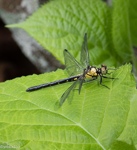 And one of my favorite things.  This one is probably a Southern Pygmy Clubtail, which I have never seen before.