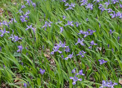 A small field of Dwarf Crested Iris.