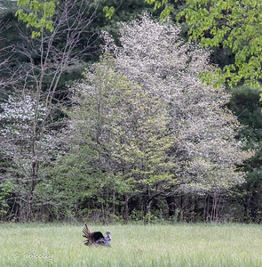 Turkey doing his thing in Cades Cove.