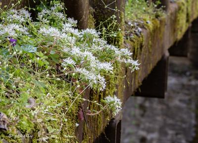 Stonecrop growing off the bridge at Tremont.