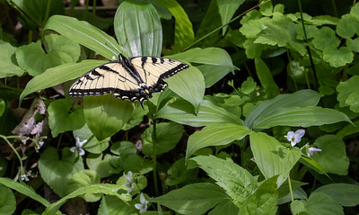 I don't usually see many butterflies at these workshops but this year there were several.  Tiger Swallowtail and Violets.