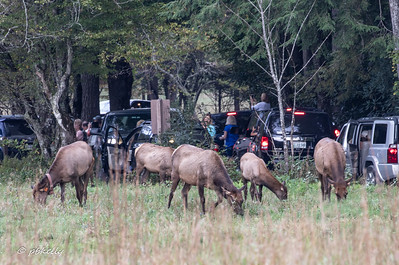 100818.  Elk are one of the attractions in Cataloochee.  They were reintroduced in 2001 and appear to be thriving.  The park rule is not to approach closer than 50 yards, but no one has informed the elk.  These came over to the cars.