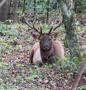 100818.  Beautiful bull posing in the woods.