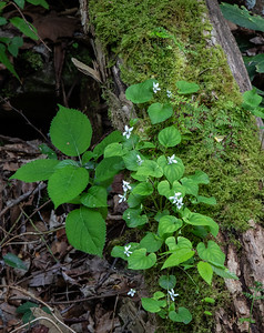 Violets were blooming in Tremont.  These are growing out of a fallen log with lots of moss and small ferns.
