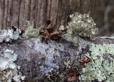 Lichens on a fallen tree branch.  The Smokies seem to have a greater variety of lichens than I usually see.
