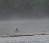 Mallard in the Mist on the Cumberland River.