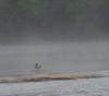 Mallard in the Mist on the Cumberland River.