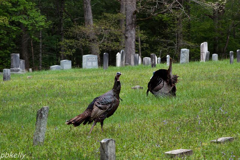 Turkeys courting among the gravestones.