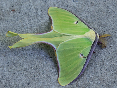 The most perfect specimen of a Luna moth I have ever seen.  Just sitting outside the dining room at GSMIT posing for portraits.  Blow it up and check it out!