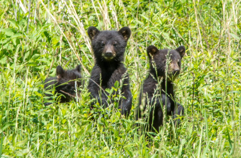 The 3 cubs