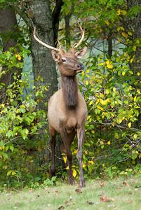 Smoky Mountains - Cataloochee Elk