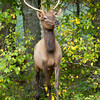 Smoky Mountains - Cataloochee Elk