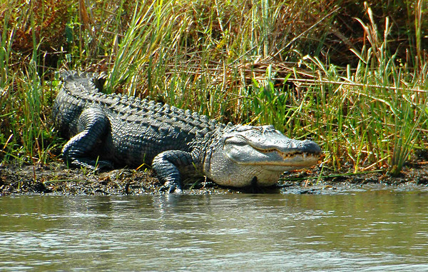 Walt Gator