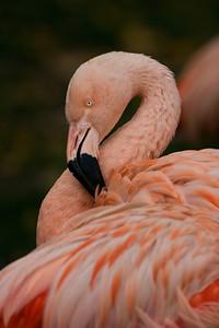 Flamingo - Calgary Zoo - Canada - 2007