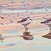 Sandpipers Reflected