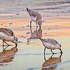 Sandpiper Trio at Dusk