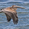 Pelican Skimming the Surf