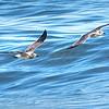 Sea Gull Lineup