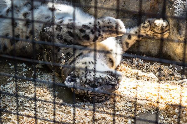 Playful snow leopard