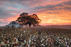 Winston County Barn and Cotton At Sunrise