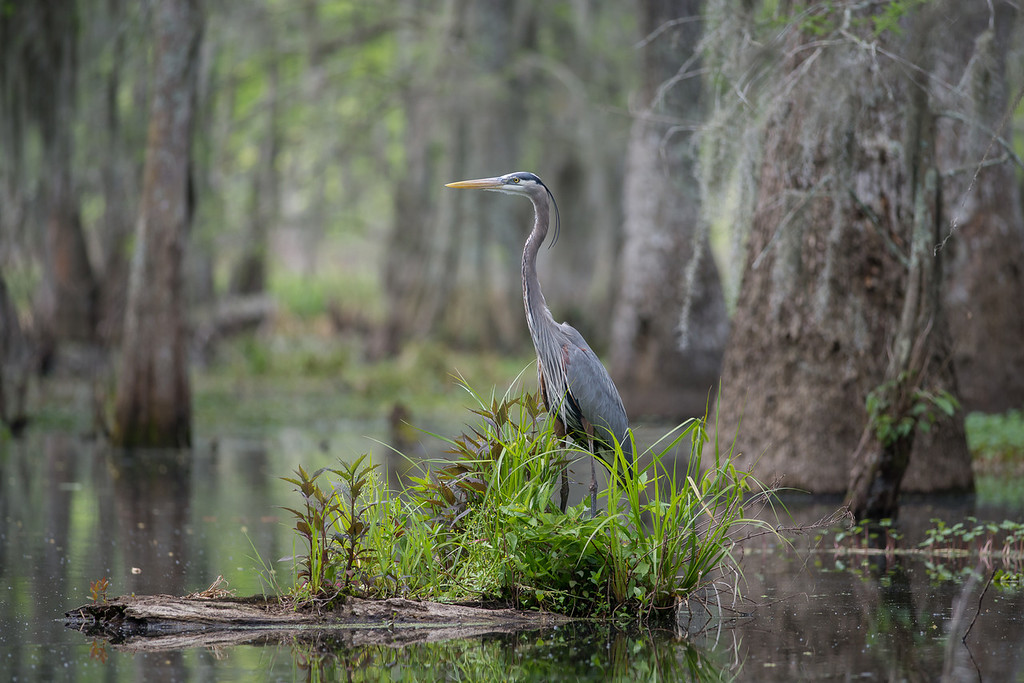 Great Blue Heron at Lake Martin