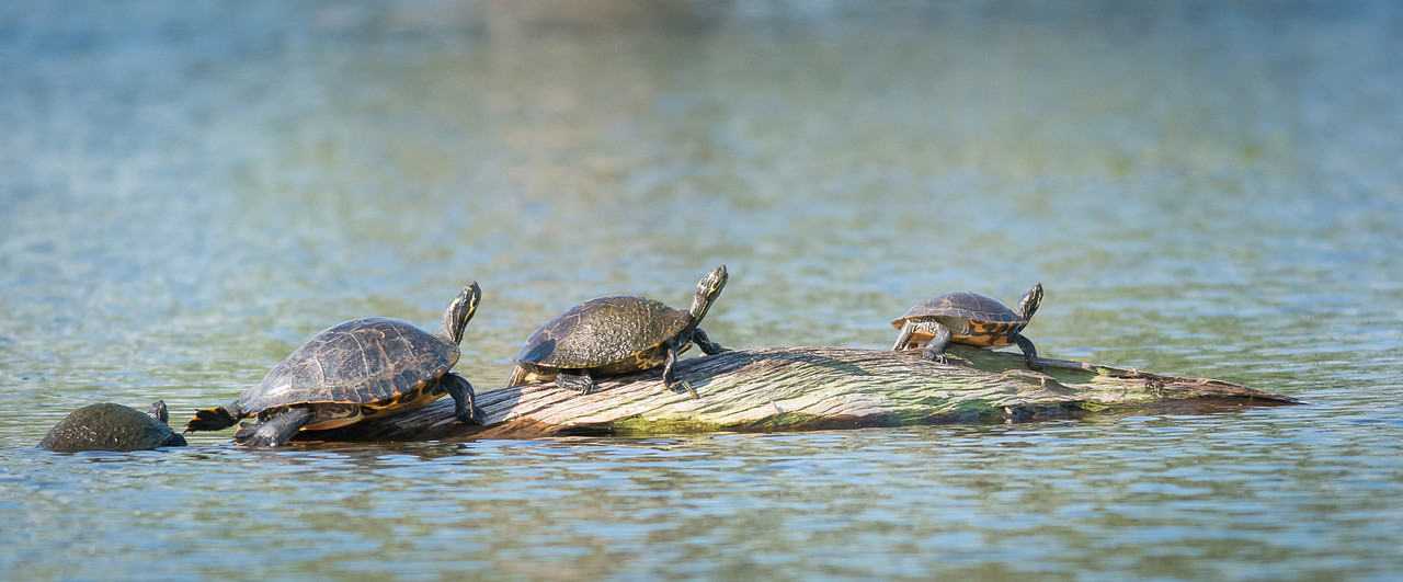 Slider Turtles On A Log